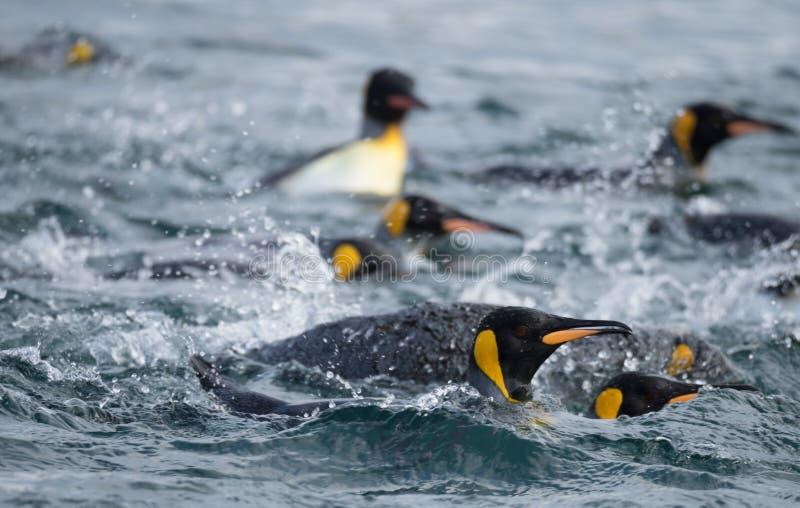 Królewiątko pingwiny Pływa w Południowym oceanie zdjęcia royalty free