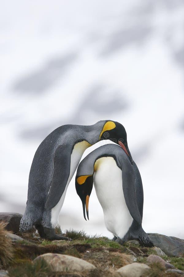 Królewiątko pingwiny w miłości obraz stock