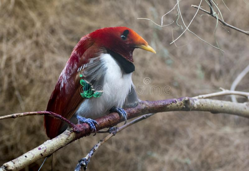 Królewiątko ptak raj obrazy stock