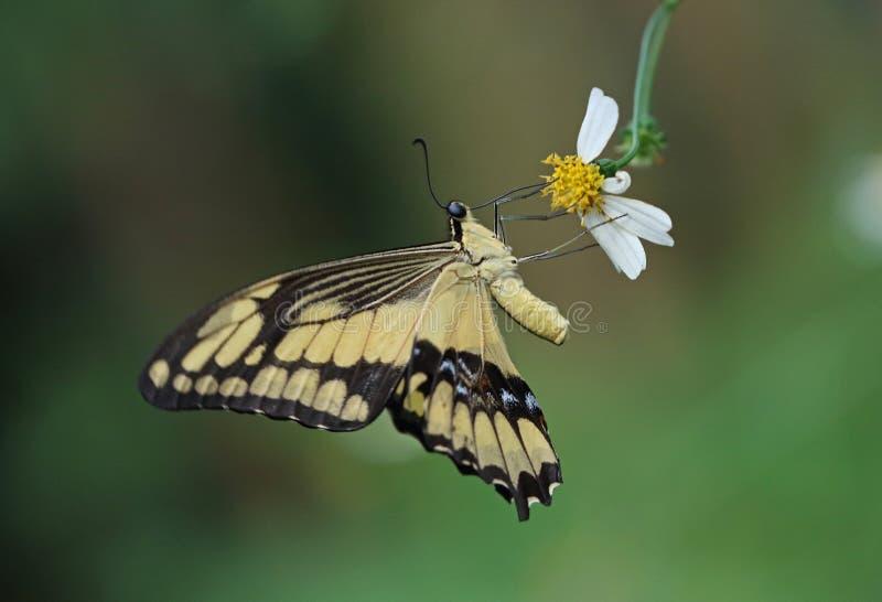 Królewiątko Swallowtail zdjęcie royalty free