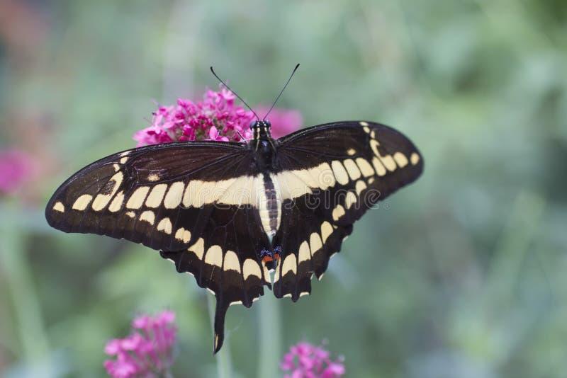 Królewiątko Swallowtail obraz stock