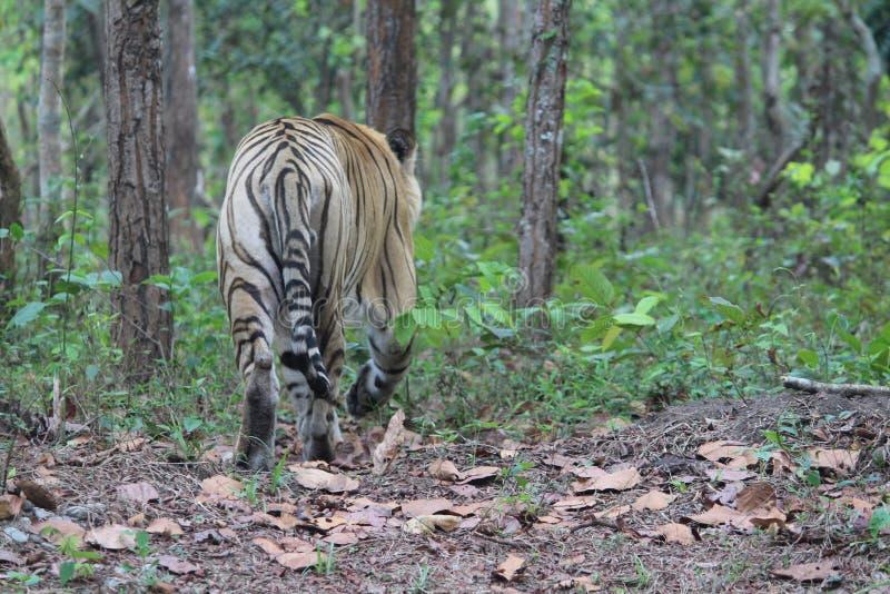 Królewski Bengalia tygrys wędruje aimlessly zdjęcie royalty free