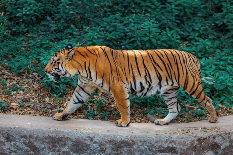 Królewski Bengalia tygrys wewnątrz w Trivandrum, Thiruvananthapuram zoo Kerala India obraz stock