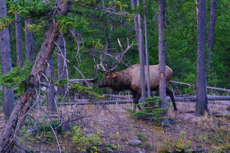 Królewski byk Skalistej góry łoś zdjęcie royalty free