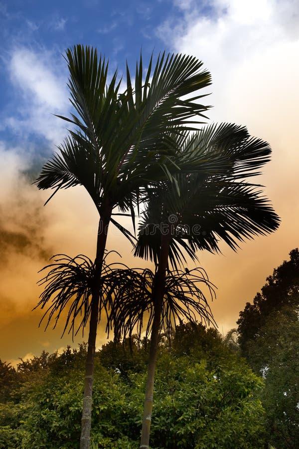 Królewski drzewko palmowe przy zmierzchem, Mauritius (Roystonea regia) fotografia stock