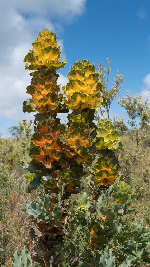 Królewski hakea, Fitzgerald Rzeczny park narodowy, zachodnia australia obrazy stock