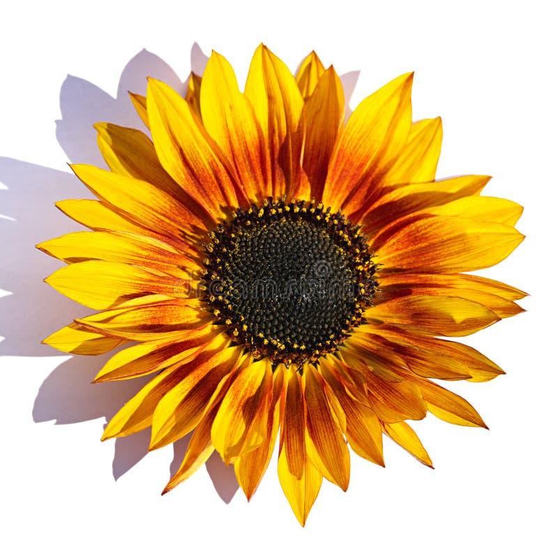 Królewski słonecznik obrazy stock