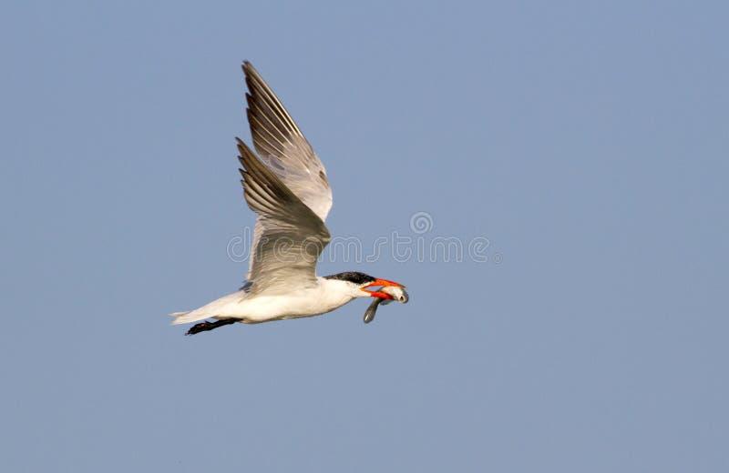 Królewski tern latanie z ryba (mostków maksimumy) fotografia royalty free