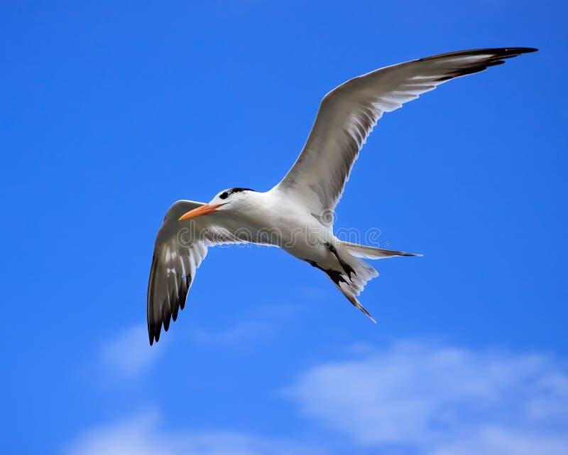 Królewski Tern (Thalasseus maximus) fotografia stock
