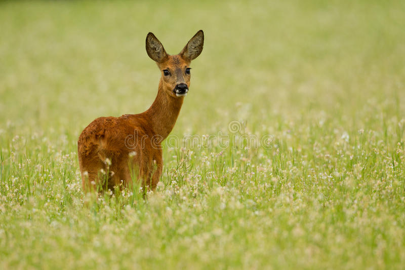 królic gryczani jeleni roe fotografia royalty free