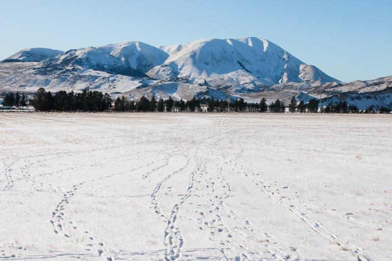 Królików ślada na śniegu obraz royalty free