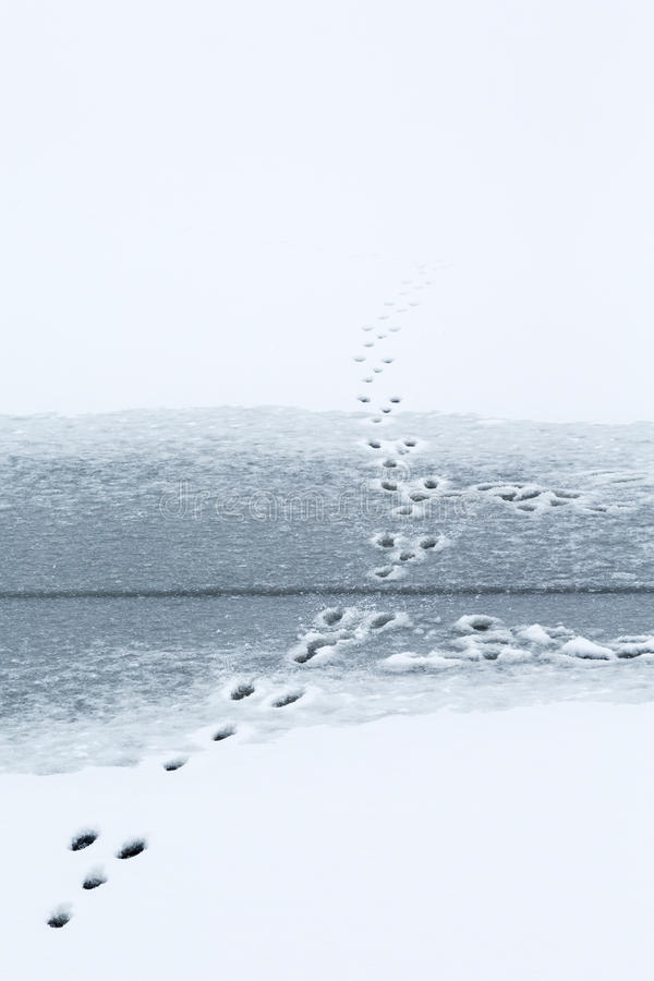 Królików ślada na lodzie zdjęcia stock