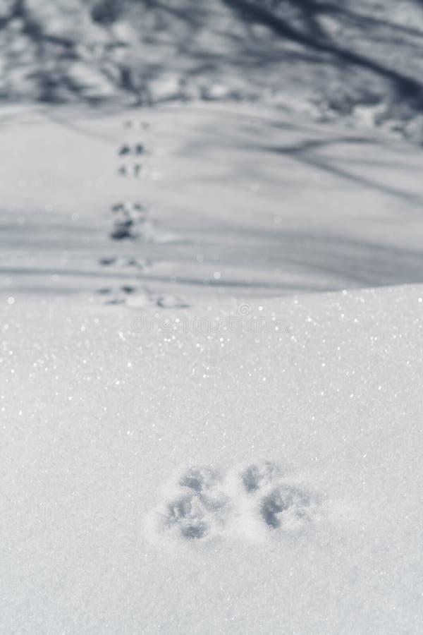 Królików odciski stopy na śnieżny wlec w drewna fotografia stock