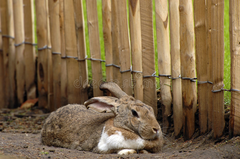 królik. obrazy stock