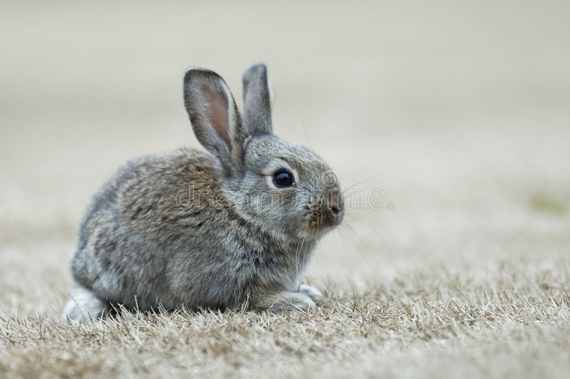 królik. zdjęcia stock