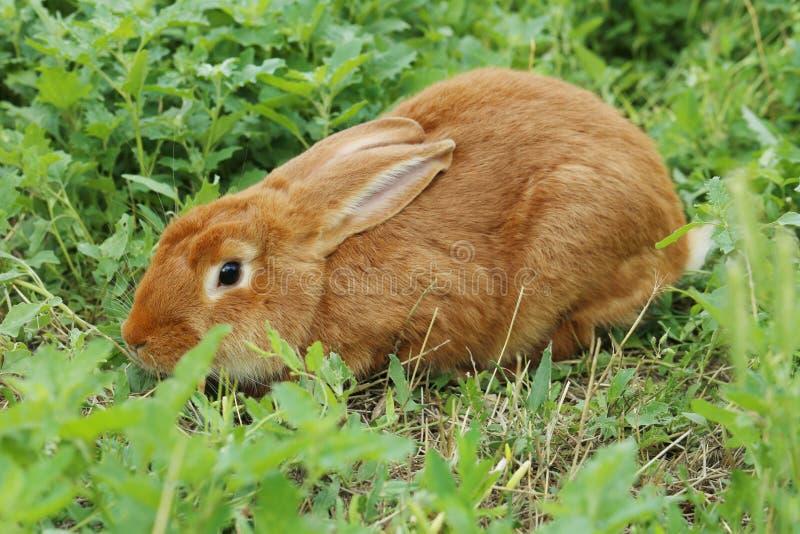 królik czerwień fotografia stock