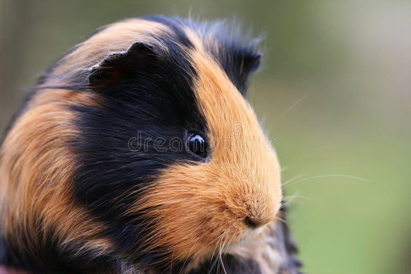 królik doświadczalny obraz stock