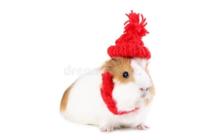 Królik doświadczalny z czerwonym kapeluszem zdjęcia royalty free