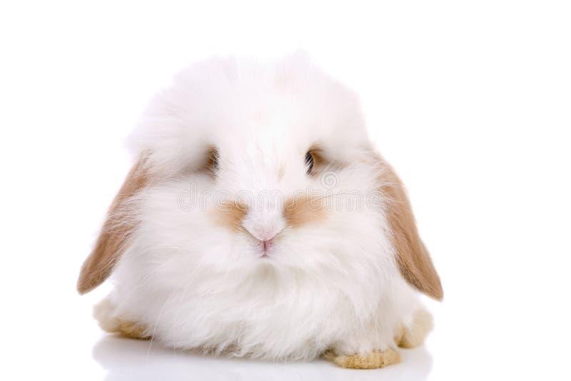 królik trochę fotografia stock