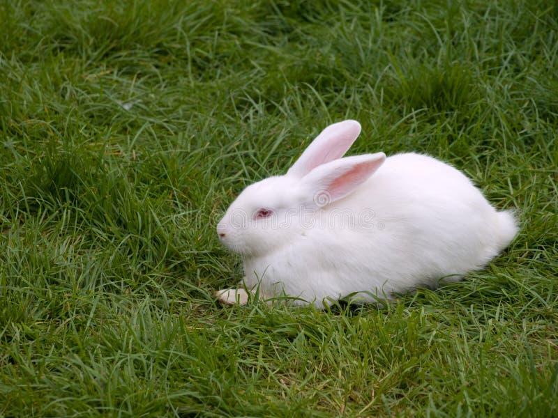królika biel zdjęcia stock