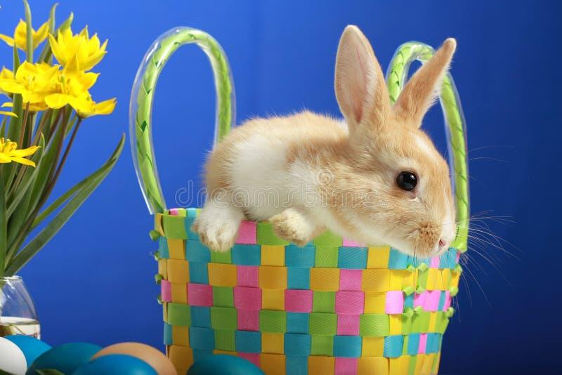 królika Easter tulipanów kolor żółty zdjęcie stock