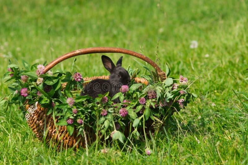 królika koszykowy czarny obsiadanie zdjęcia stock