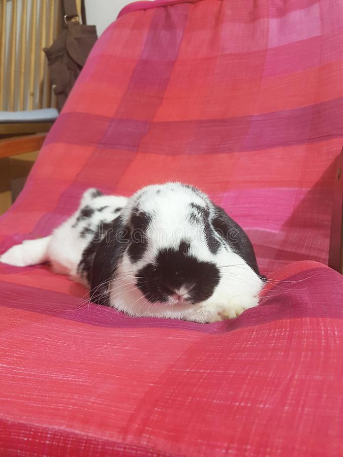 Królika królik Holland lop obrazy stock