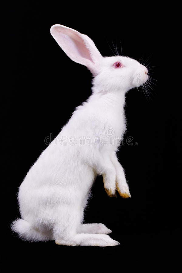 królika puszysty biel obrazy stock