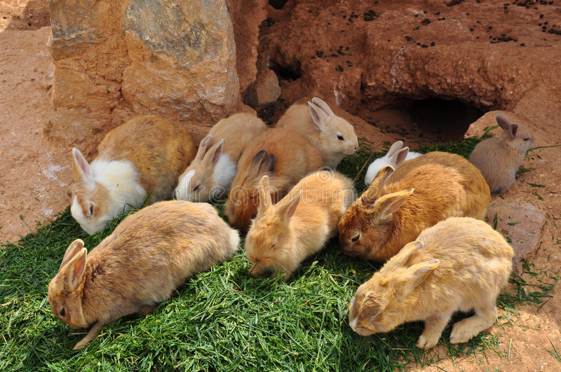 Króliki karmi na trawy i królika dziurze obraz stock
