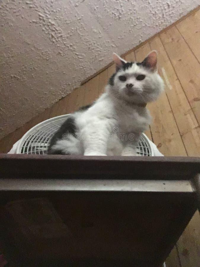 Królowa kot obrazy stock