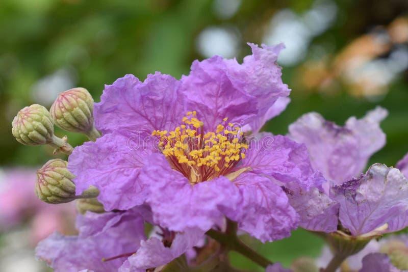 Królowa kwiat w Thailand zdjęcie royalty free