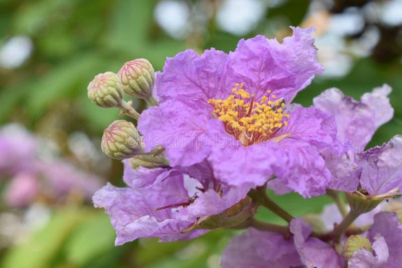 Królowa kwiat w Thailand obrazy royalty free