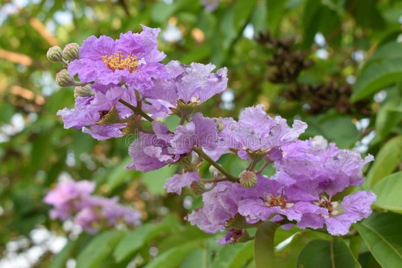 Królowa kwiat w Thailand fotografia stock