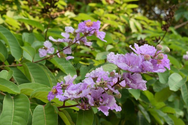 Królowa kwiat w Thailand zdjęcia stock