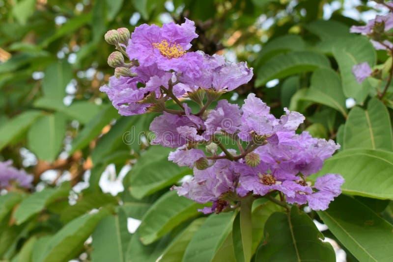 Królowa kwiat w Thailand zdjęcia royalty free