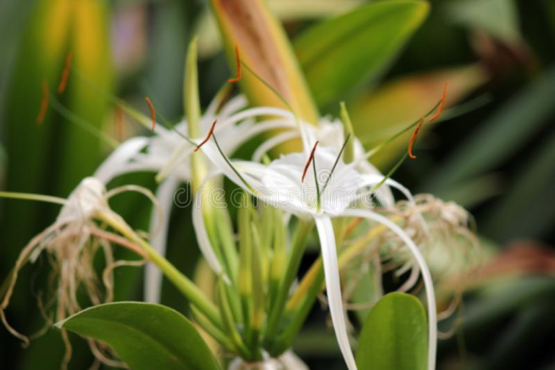 Królowa noc, Botaniczny imię Cestrum nocturnum obraz royalty free