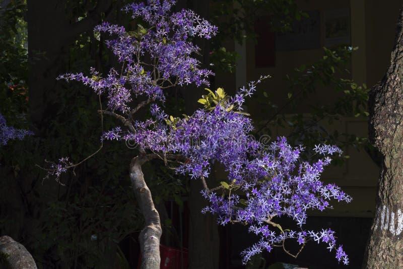 Królowa wianku winogradu lub purpura wianku winogradu kwiatu Petrea volubilis obrazy royalty free