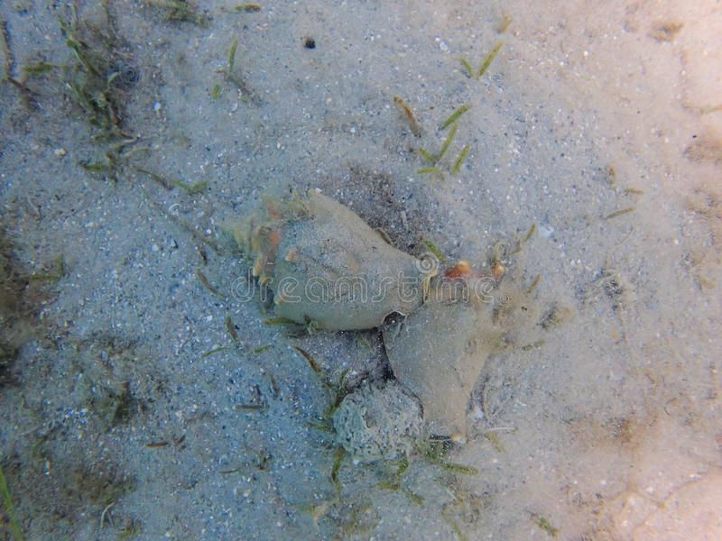 Królowej konchy kotelnia w oceanie obraz stock