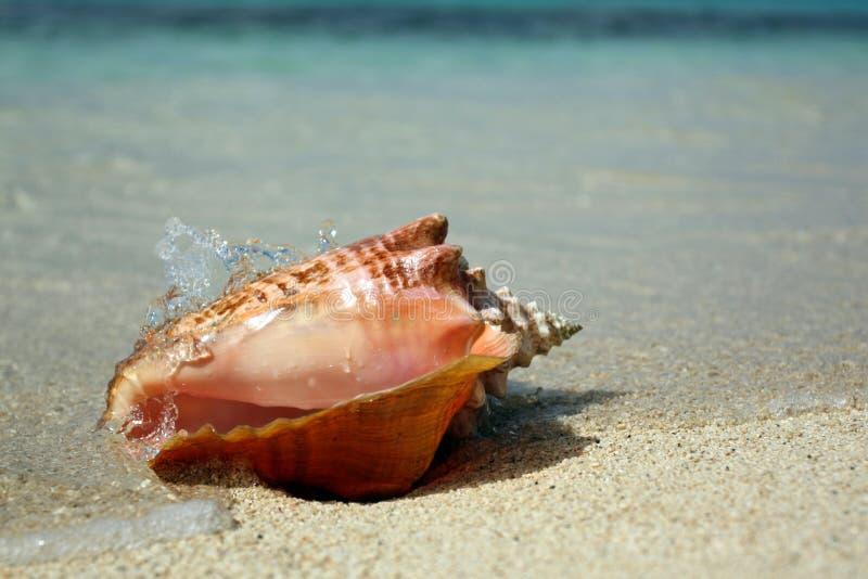 Królowej konchy morza karaibskiego skorupa obrazy stock