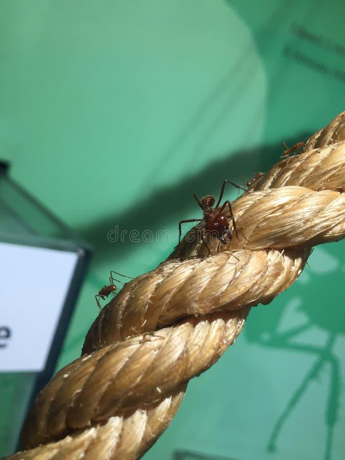 Królowej mrówka na arkanie zdjęcie royalty free