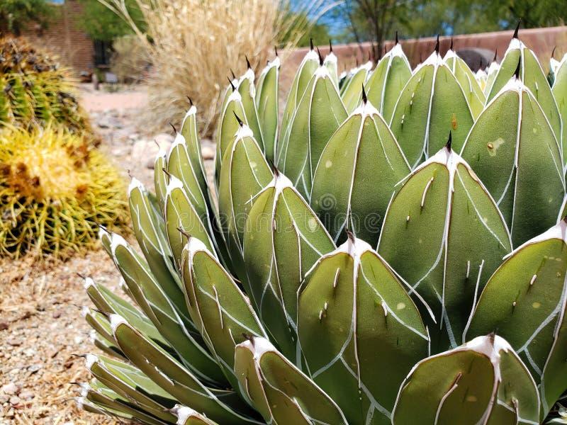 Królowej Wiktoria agawa w kaktusa ogródzie fotografia stock