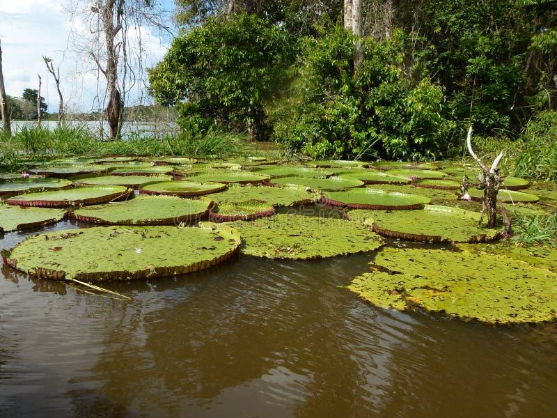 Królowej Wiktoria lelui ochraniacze wzdłuż amazonki rzeki Brazylia zdjęcia stock