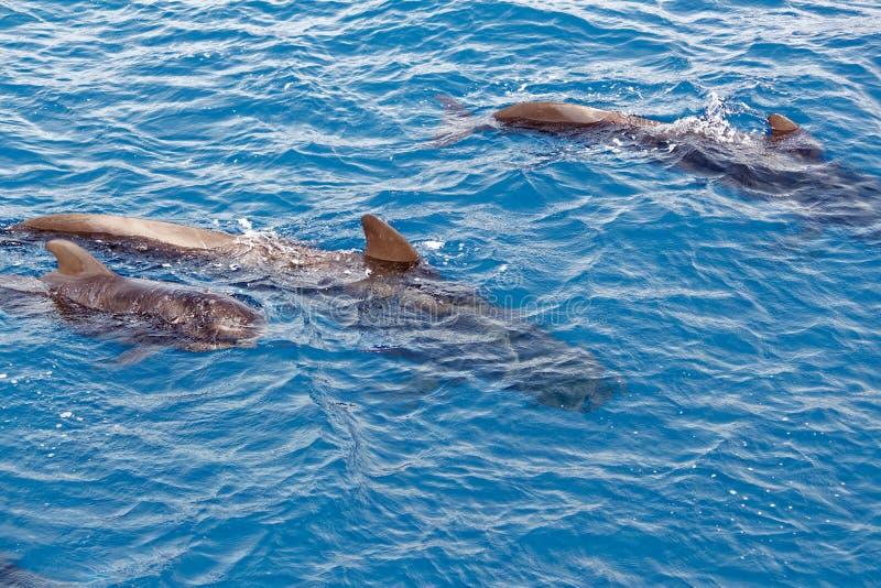 Krótcy użebrowani pilotowi wieloryby i dziecko łydka z wybrzeża Tenerife, Hiszpania zdjęcia royalty free