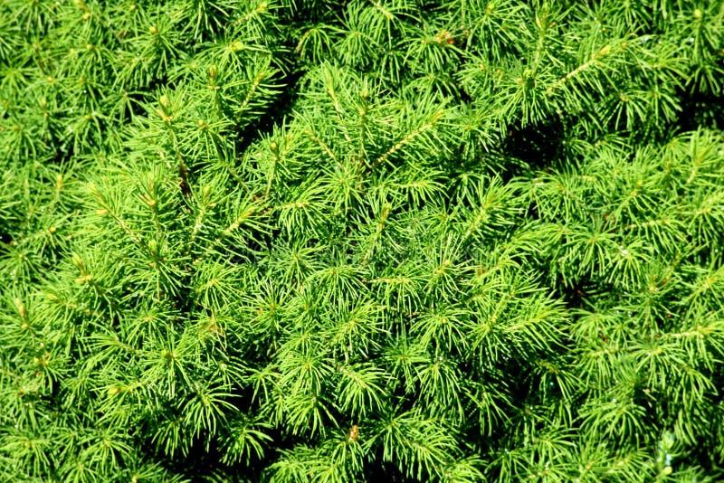 Krótki conifers wzór fotografia stock