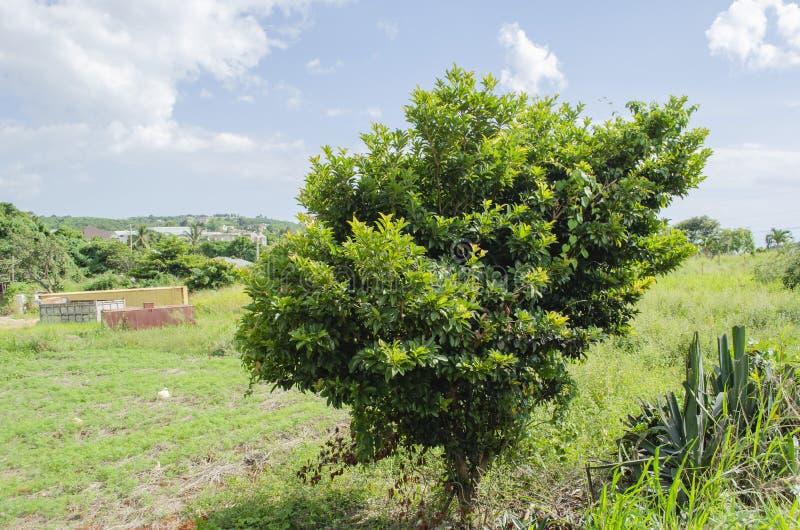 Krótki Sapodilla drzewo obrazy stock