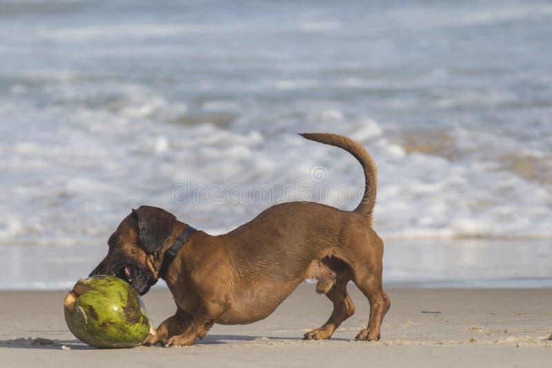 Krótkopowlekany Pies brunatny obok łuski kokosowej obraz royalty free