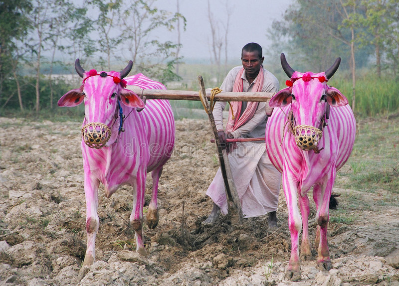 krów Nepal zebra zdjęcia royalty free