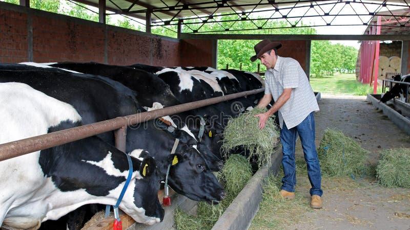 krów rolnika karmienie obraz royalty free