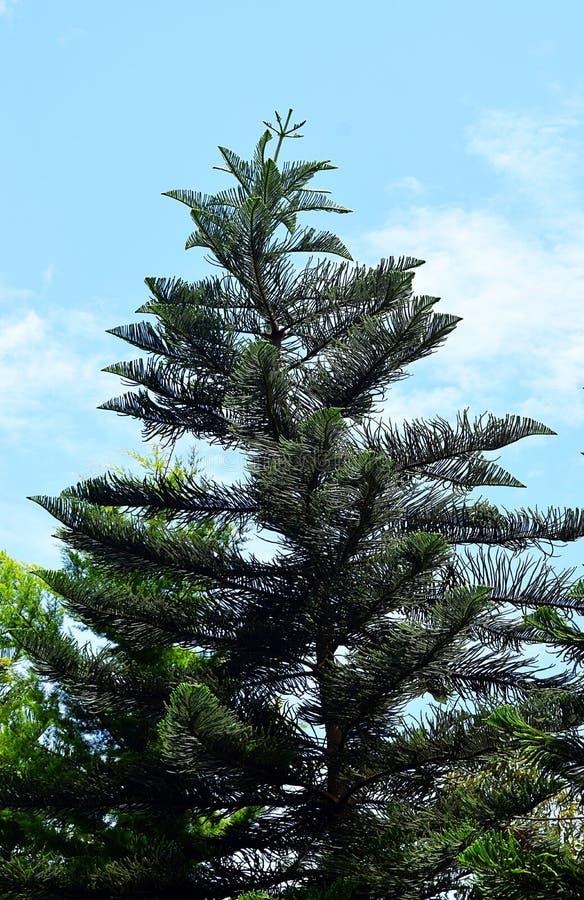 Krökt attraktiv kock Pine Conifer Tree - araucariaen Columnaris - julgran i Indien - med bakgrund för blå himmel royaltyfria bilder