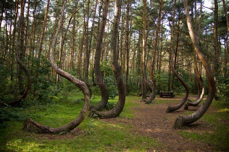 krökt skog arkivbilder